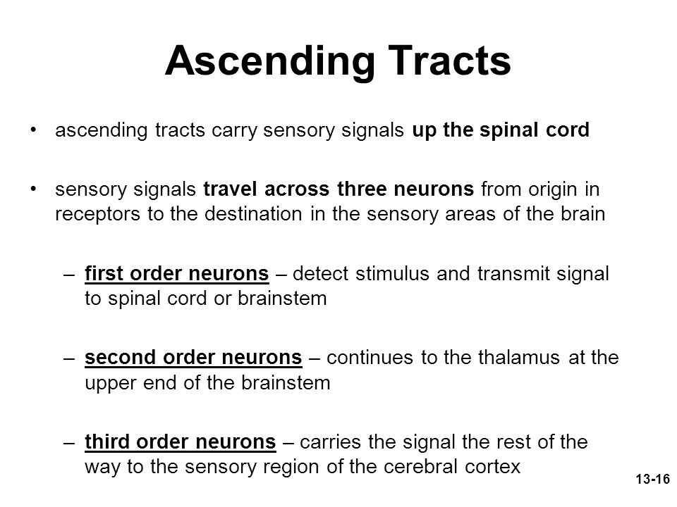 13-16 Ascending Tracts ascending tracts carry sensory signals up the spinal cord sensory signals travel across three neurons from origin in receptors to the destination in the sensory areas of the brain –first order neurons – detect stimulus and transmit signal to spinal cord or brainstem –second order neurons – continues to the thalamus at the upper end of the brainstem –third order neurons – carries the signal the rest of the way to the sensory region of the cerebral cortex