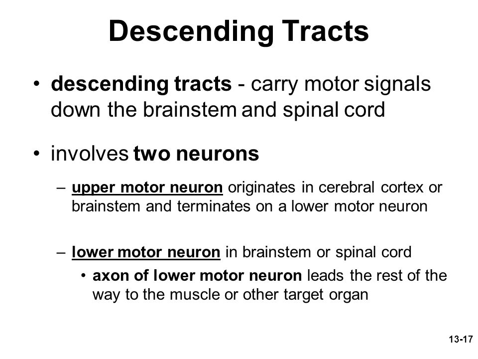 13-17 Descending Tracts descending tracts - carry motor signals down the brainstem and spinal cord involves two neurons –upper motor neuron originates in cerebral cortex or brainstem and terminates on a lower motor neuron –lower motor neuron in brainstem or spinal cord axon of lower motor neuron leads the rest of the way to the muscle or other target organ