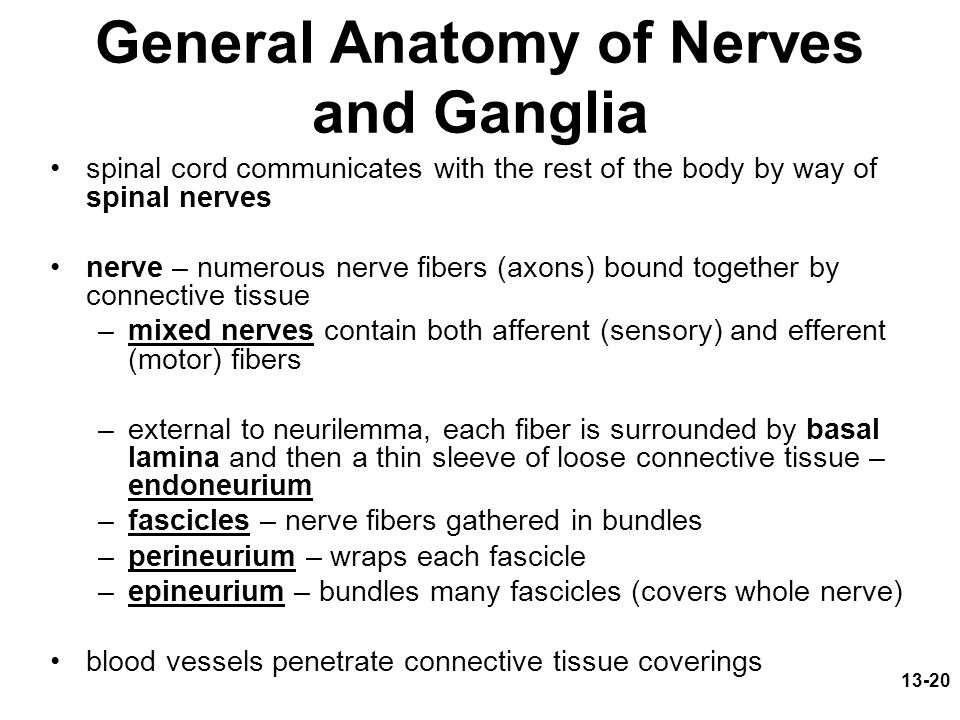 13-20 General Anatomy of Nerves and Ganglia spinal cord communicates with the rest of the body by way of spinal nerves nerve – numerous nerve fibers (axons) bound together by connective tissue –mixed nerves contain both afferent (sensory) and efferent (motor) fibers –external to neurilemma, each fiber is surrounded by basal lamina and then a thin sleeve of loose connective tissue – endoneurium –fascicles – nerve fibers gathered in bundles –perineurium – wraps each fascicle –epineurium – bundles many fascicles (covers whole nerve) blood vessels penetrate connective tissue coverings