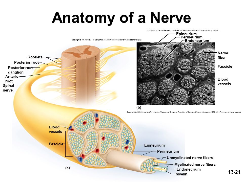 13-21 Anatomy of a Nerve Rootlets Posterior root Epineurium Fascicle Myelin Perineurium Endoneurium Unmyelinated nerve fibers Myelinated nerve fibers (a) Posterior root ganglion Anterior root Spinal nerve Blood vessels Copyright © The McGraw-Hill Companies, Inc.