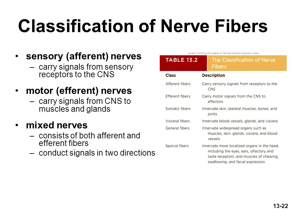 13-22 Classification of Nerve Fibers sensory (afferent) nerves –carry signals from sensory receptors to the CNS motor (efferent) nerves –carry signals from CNS to muscles and glands mixed nerves –consists of both afferent and efferent fibers –conduct signals in two directions