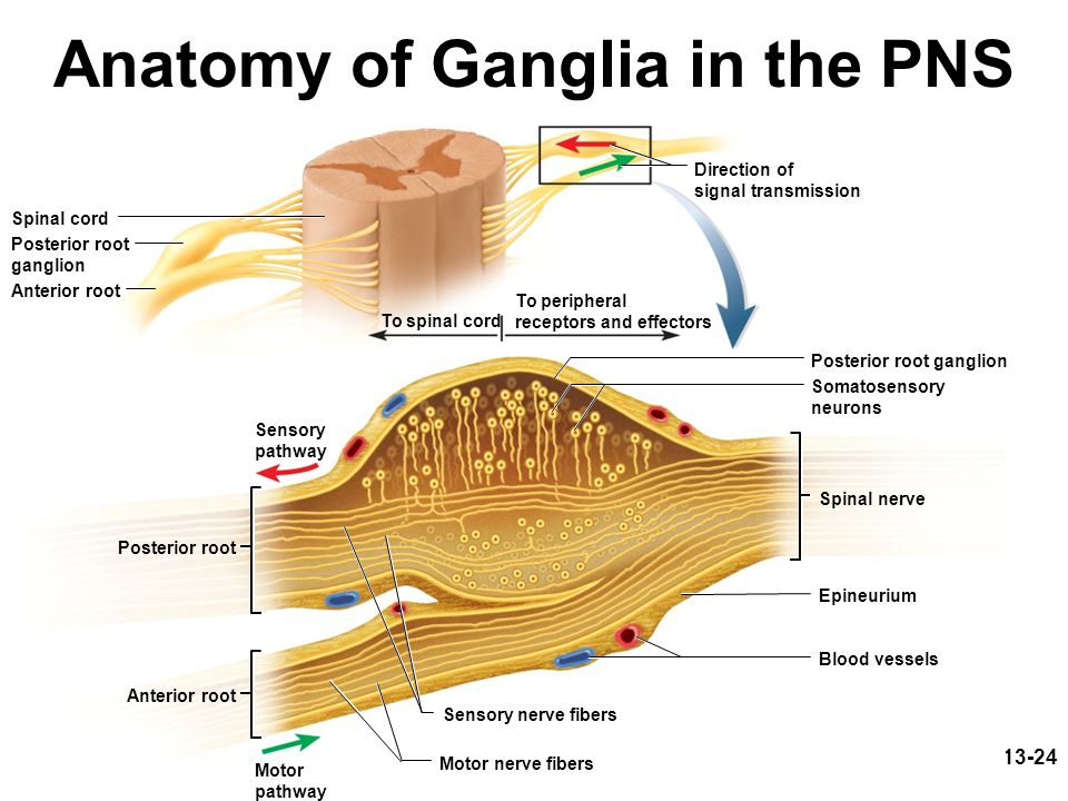 13-24 Anatomy of Ganglia in the PNS Sensory nerve fibers Posterior root Anterior root Spinal cord Anterior root Motor nerve fibers To spinal cord Spinal nerve Posterior root ganglion Epineurium Blood vessels Posterior root ganglion Sensory pathway Motor pathway Somatosensory neurons To peripheral receptors and effectors Direction of signal transmission