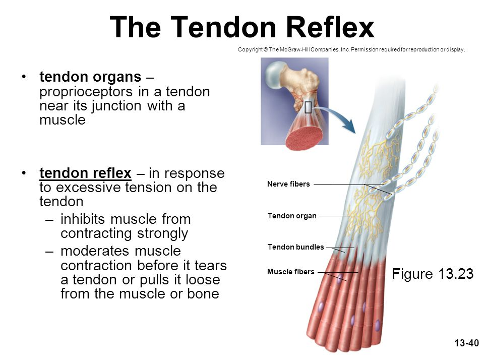13-40 The Tendon Reflex tendon organs – proprioceptors in a tendon near its junction with a muscle tendon reflex – in response to excessive tension on the tendon –inhibits muscle from contracting strongly –moderates muscle contraction before it tears a tendon or pulls it loose from the muscle or bone Copyright © The McGraw-Hill Companies, Inc.