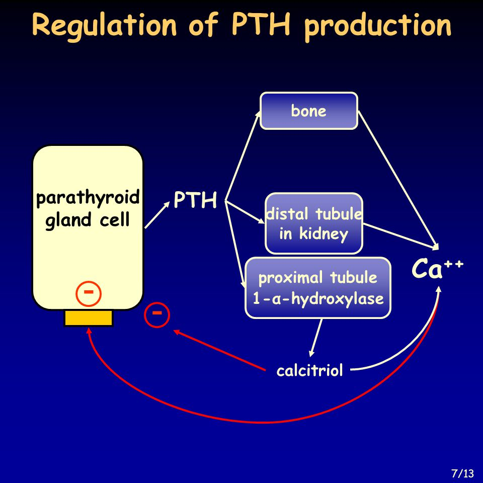 Regulation of PTH production bone parathyroid gland cell Ca ++ proximal tubule 1-α-hydroxylase distal tubule in kidney PTH - calcitriol - 7/13