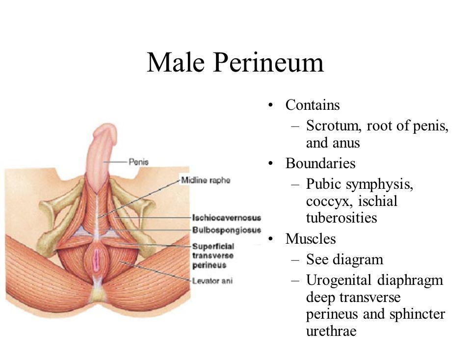 lecture the pelvic cavity bony pelvis reproductive organs ppt  : perineum diagram - findchart.co