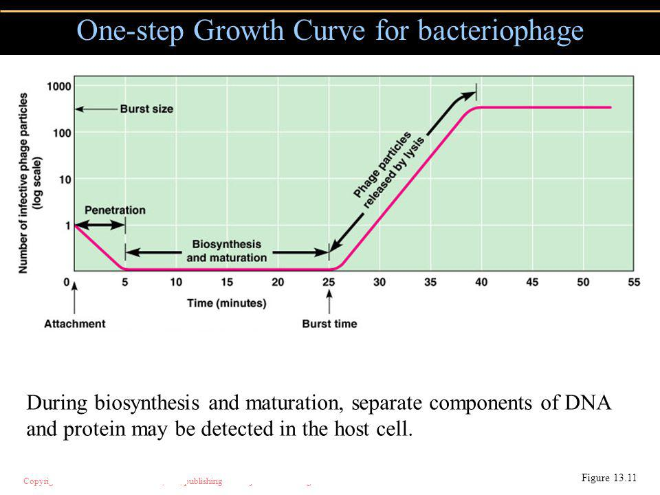 Copyright © 2004 Pearson Education, Inc., publishing as Benjamin Cummings One-step Growth Curve for bacteriophage Figure 13.11 During biosynthesis and maturation, separate components of DNA and protein may be detected in the host cell.