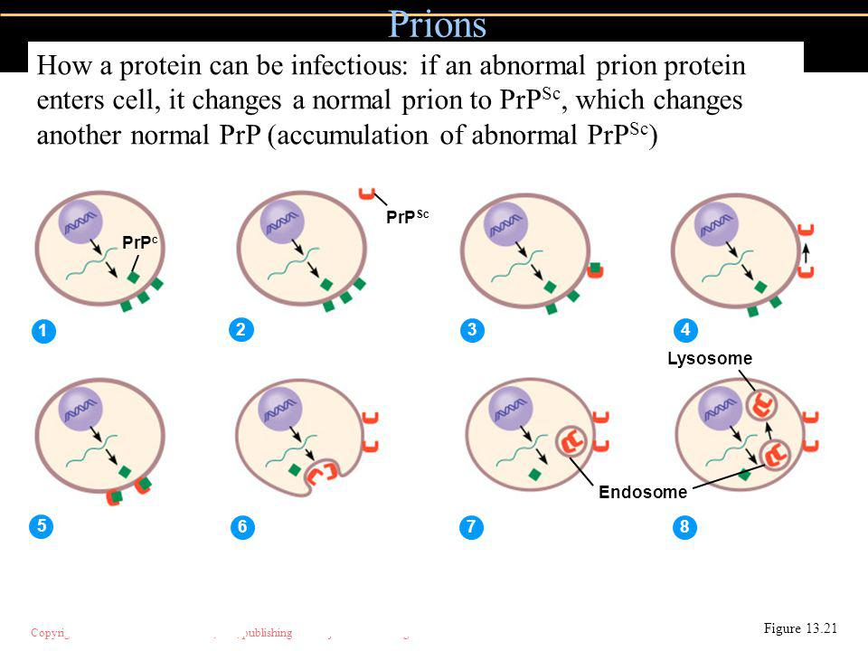 Copyright © 2004 Pearson Education, Inc., publishing as Benjamin Cummings Prions Figure 13.21 PrP c PrP Sc 1 2 34 5 678 Endosome Lysosome How a protein can be infectious: if an abnormal prion protein enters cell, it changes a normal prion to PrP Sc, which changes another normal PrP (accumulation of abnormal PrP Sc )