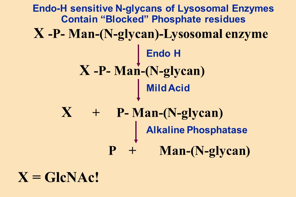 "Endo-H sensitive N-glycans of Lysosomal Enzymes Contain ""Blocked"" Phosphate residues X -P- Man-(N-glycan)-Lysosomal enzyme X -P- Man-(N-glycan) X + P-"