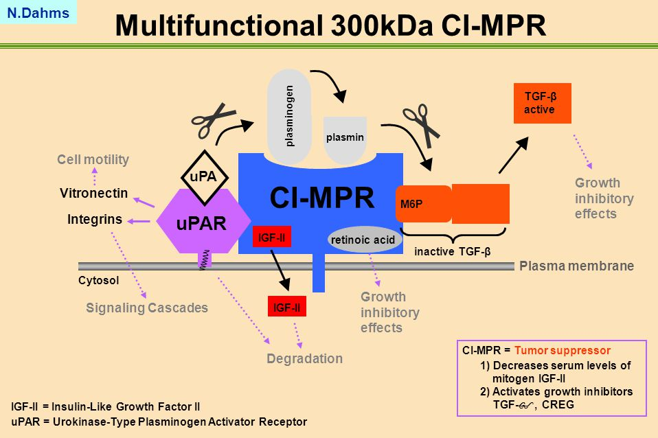 Multifunctional 300kDa CI-MPR IGF-II = Insulin-Like Growth Factor II uPAR = Urokinase-Type Plasminogen Activator Receptor CI-MPR = Tumor suppressor 1) Decreases serum levels of mitogen IGF-II 2) Activates growth inhibitors TGF- , CREG Cytosol uPAR CI-MPR uPA inactive TGF-β TGF-β active M6P plasmin plasminogen Integrins Signaling Cascades Vitronectin Cell motility Growth inhibitory effects IGF-II Degradation Plasma membrane Growth inhibitory effects retinoic acid N.Dahms