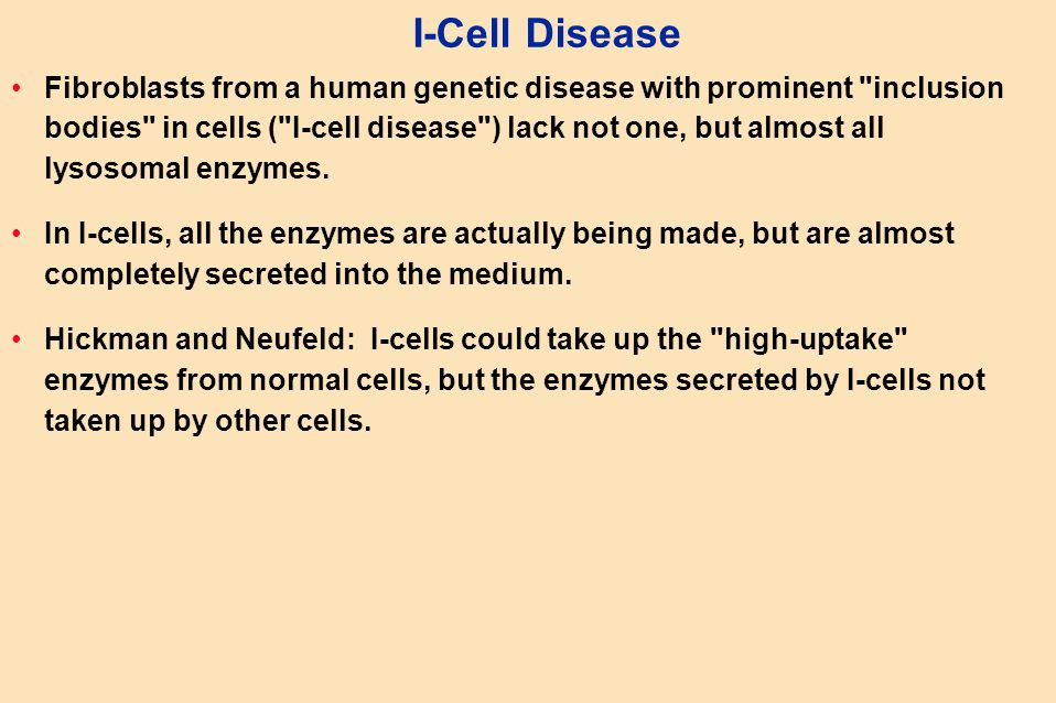 I-Cell Disease Fibroblasts from a human genetic disease with prominent inclusion bodies in cells ( I-cell disease ) lack not one, but almost all lysosomal enzymes.
