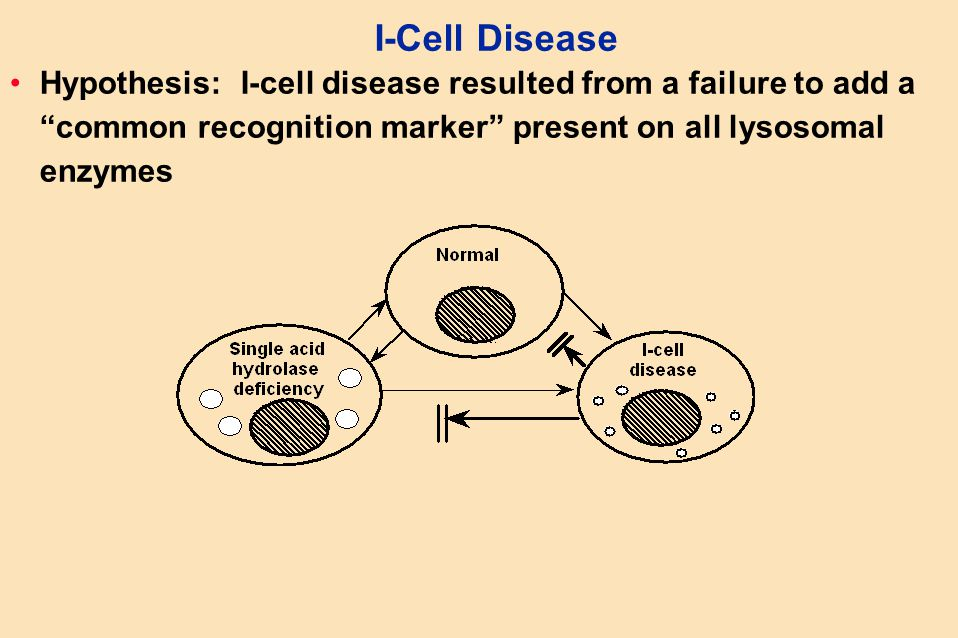 "I-Cell Disease Hypothesis: I-cell disease resulted from a failure to add a ""common recognition marker"" present on all lysosomal enzymes"