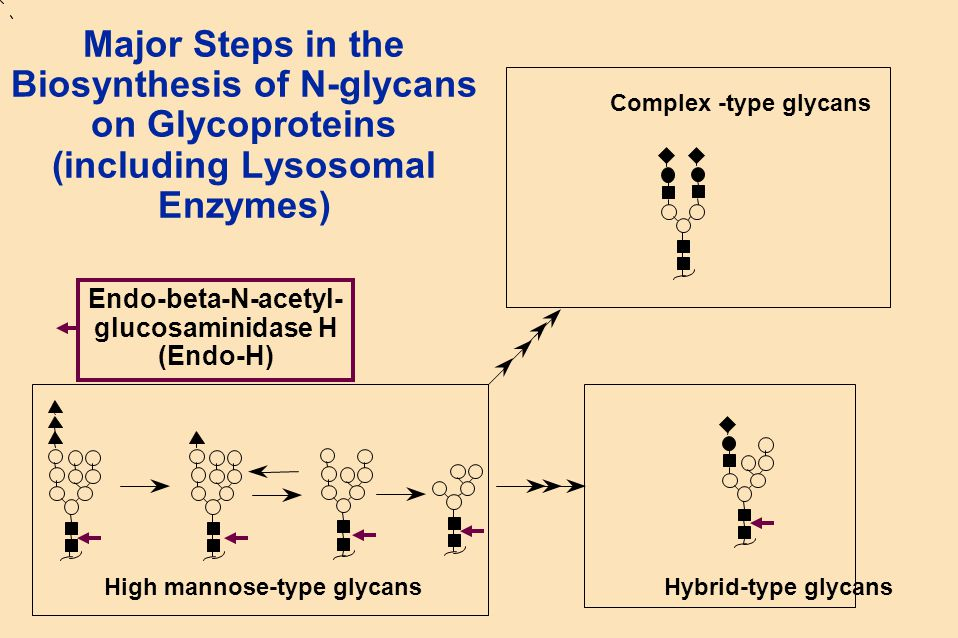 Major Steps in the Biosynthesis of N-glycans on Glycoproteins (including Lysosomal Enzymes)  Complex -type glycans High mannose-type glycans