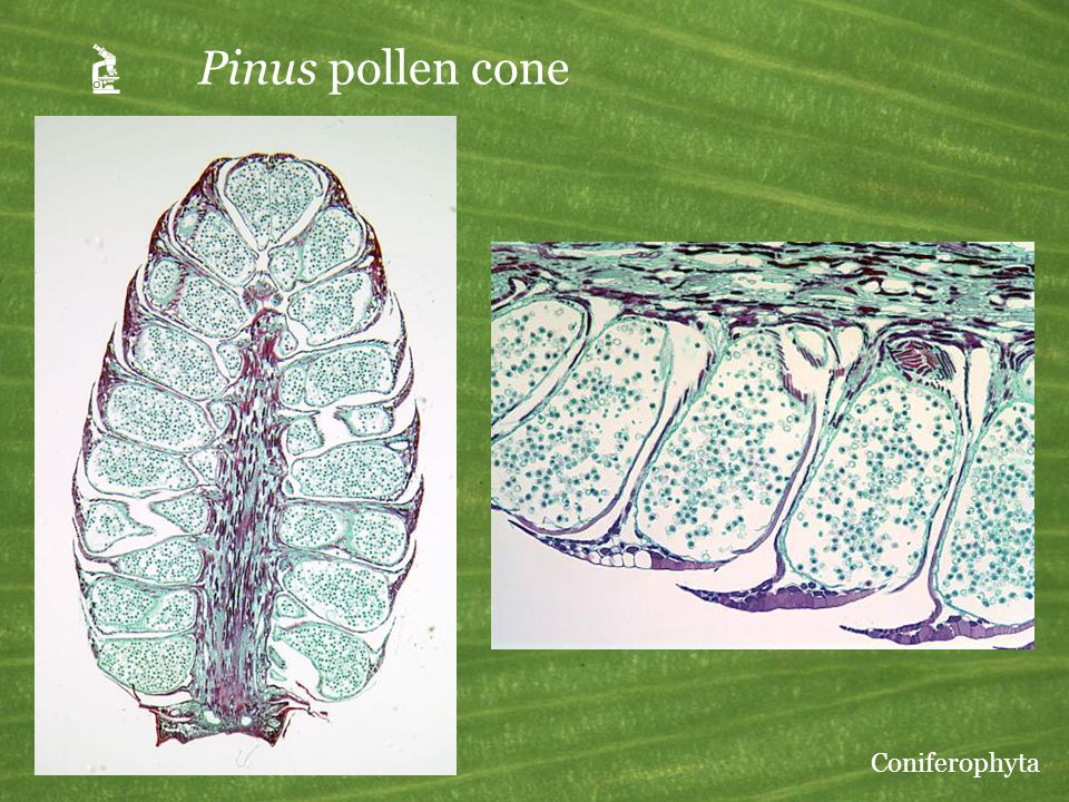  Pinus pollen cone Coniferophyta