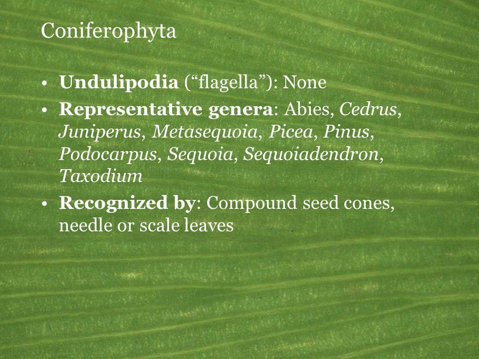 Coniferophyta Undulipodia ( flagella ): None Representative genera: Abies, Cedrus, Juniperus, Metasequoia, Picea, Pinus, Podocarpus, Sequoia, Sequoiadendron, Taxodium Recognized by: Compound seed cones, needle or scale leaves