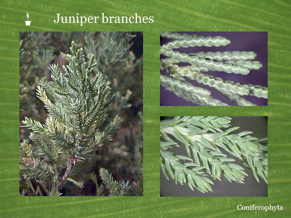  Juniper branches Coniferophyta