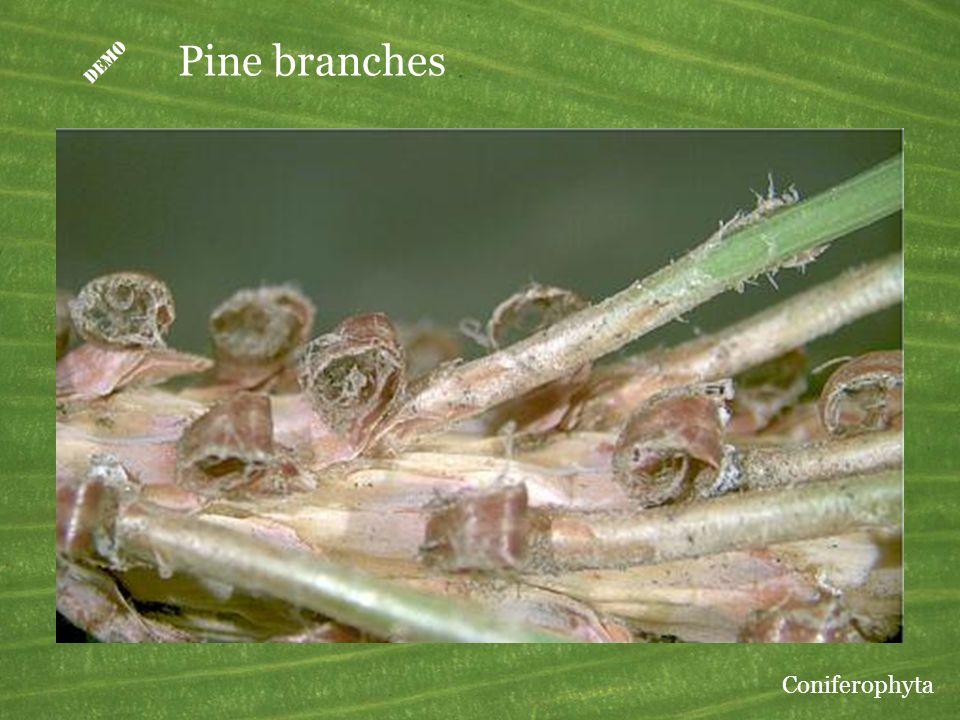  Pine branches Coniferophyta