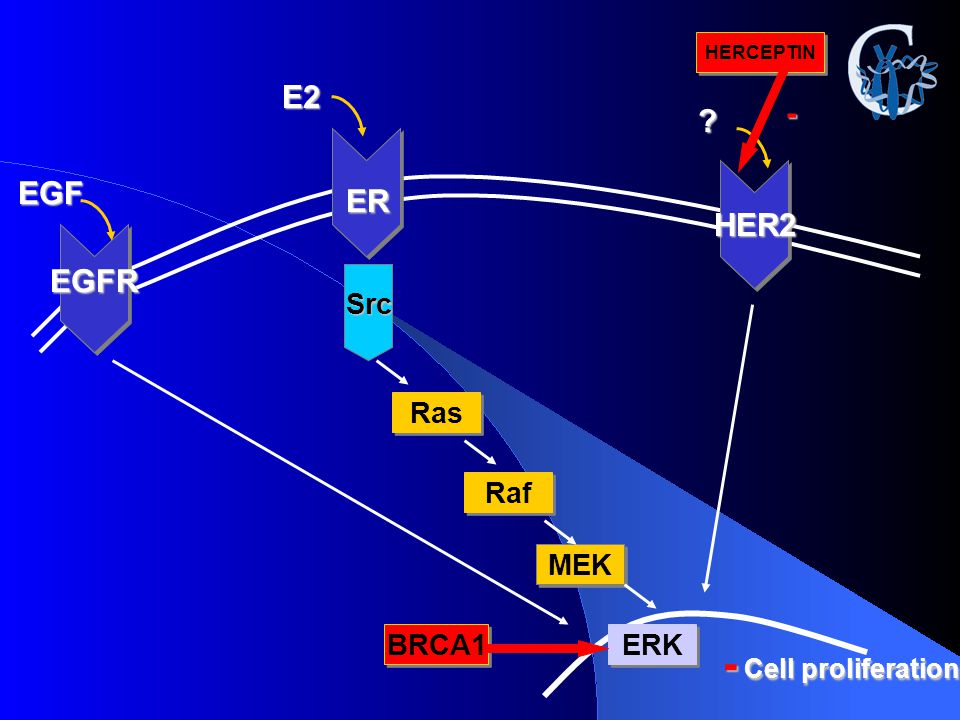 ER E2 Src Ras Raf MEK ERK - Cell proliferation EGFR EGF BRCA1 HER2 ? HERCEPTIN -