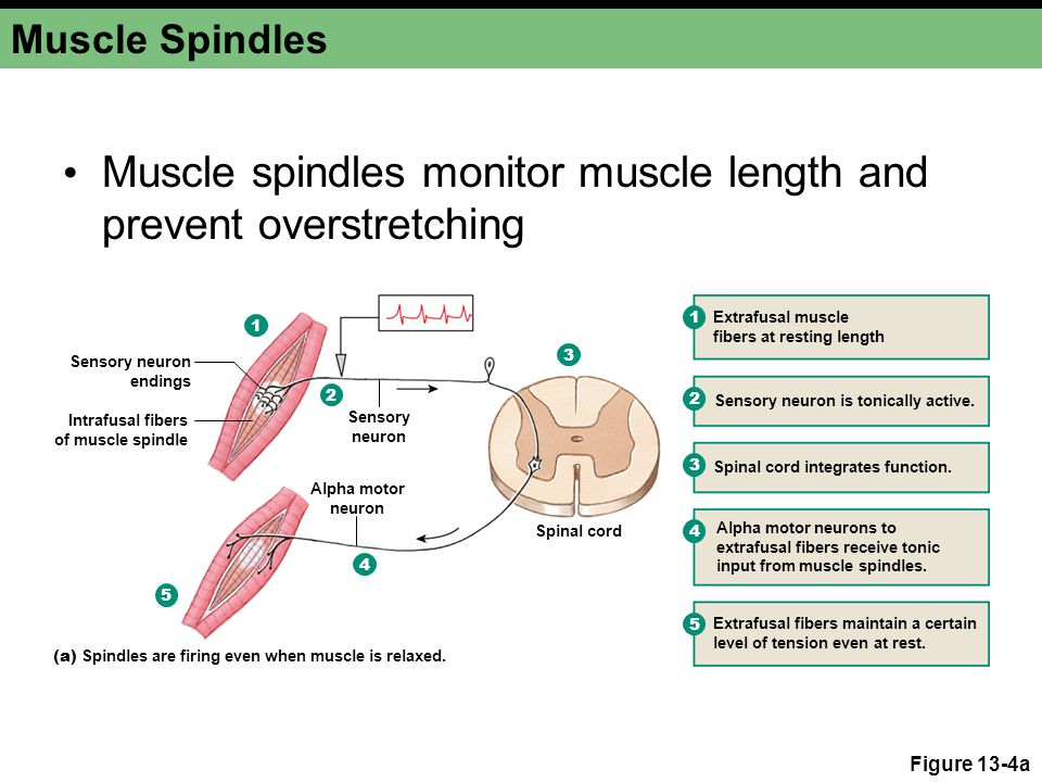 Muscle Spindles Muscle spindles monitor muscle length and prevent overstretching Figure 13-4a Sensory neuron endings Intrafusal fibers of muscle spind