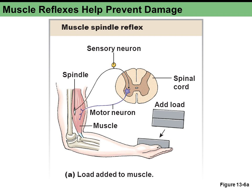 Muscle Reflexes Help Prevent Damage Figure 13-6a Sensory neuron Spindle Spinal cord Motor neuron Add load Muscle (a) Load added to muscle. Muscle spin