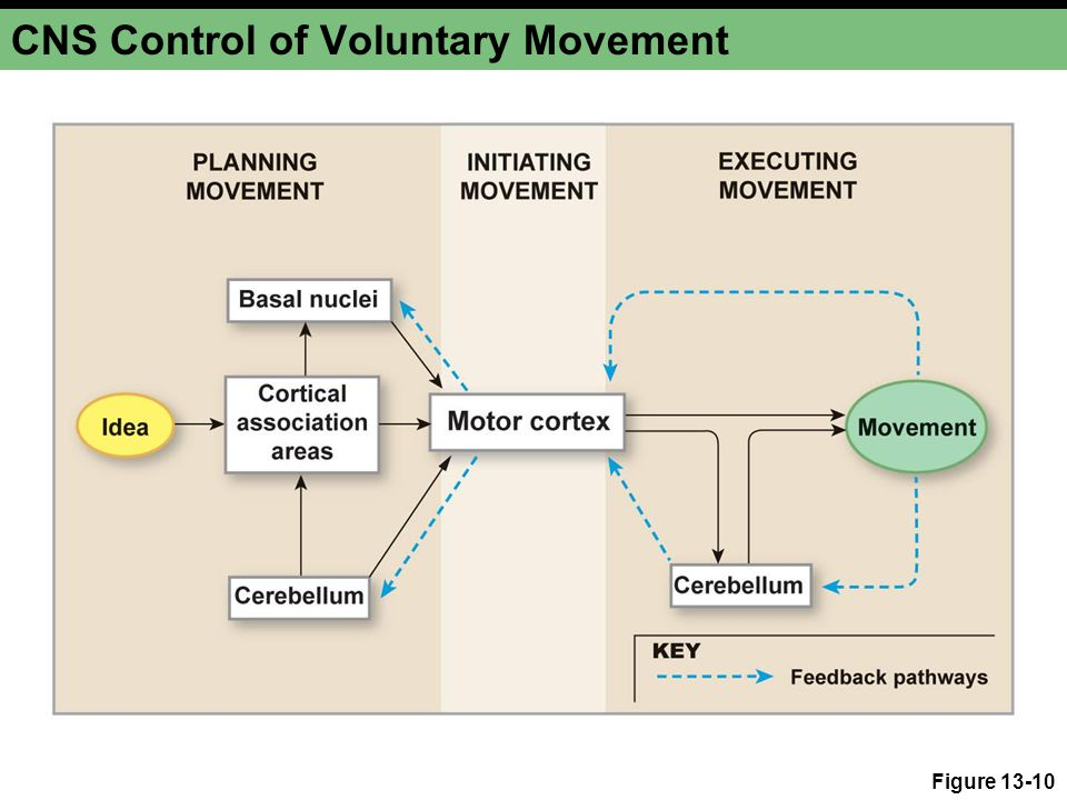 CNS Control of Voluntary Movement Figure 13-10