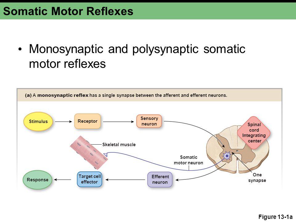 Somatic Motor Reflexes Figure 13-1b Response Stimulus Sensory neuron Efferent neuron Interneuron (b) Polysynaptic reflexes have two or more synapses.