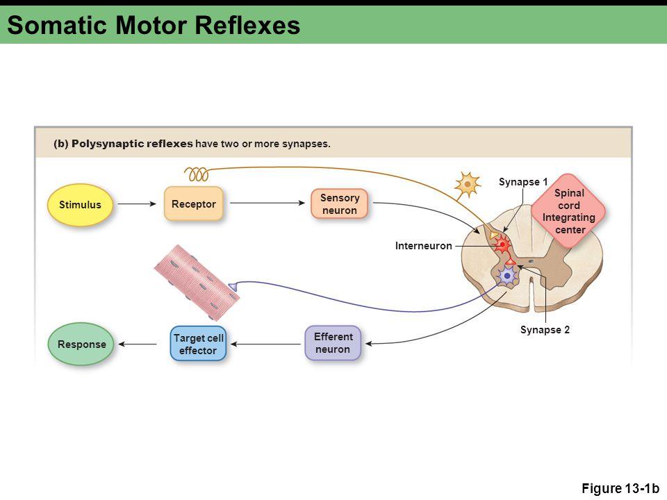 Summary Neural reflexes Somatic reflexes, autonomic reflexes, spinal reflexes, cranial reflexes, monosynaptic reflex, and polysynaptic reflex Autonomic reflexes Skeletal muscle reflexes Extrafusal muscle fibers, alpha motor neurons, muscle spindles, intrafusal fibers, gamma motor neurons, muscle tone, and stretch reflex