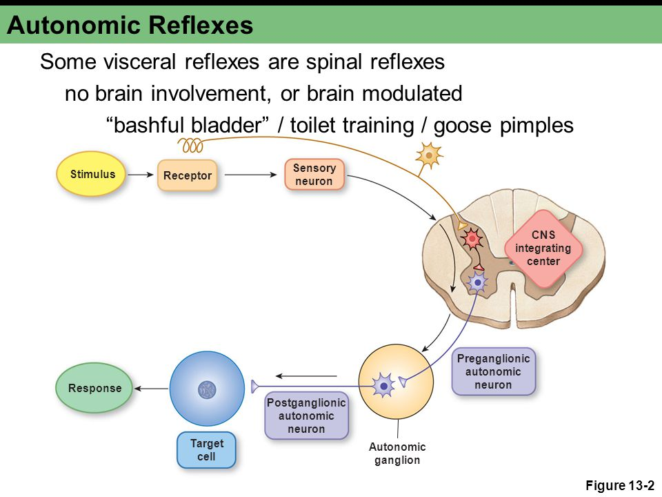 Skeletal Muscle Reflexes Proprioceptors are located in skeletal muscle, joint capsules, and ligaments Proprioceptors carry input sensory neurons to CNS CNS integrates input signal Somatic motor neurons carry output signal Alpha motor neurons α Effectors are contractile skeletal muscle fibers extrafusal muscle fibers