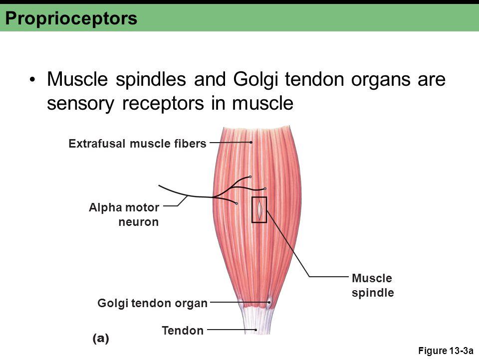 Proprioceptors Figure 13-3b Muscle spindle Extrafusal fiber Intrafusal fibers Central region lacks myofibrils.