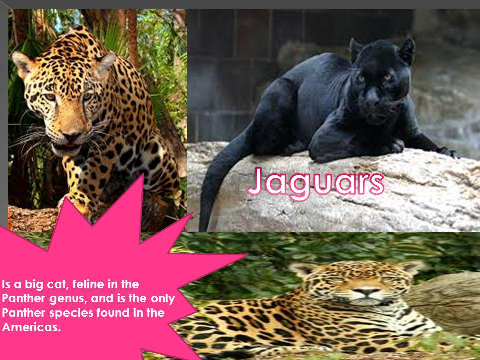 Is a big cat, feline in the Panther genus, and is the only Panther species found in the Americas.