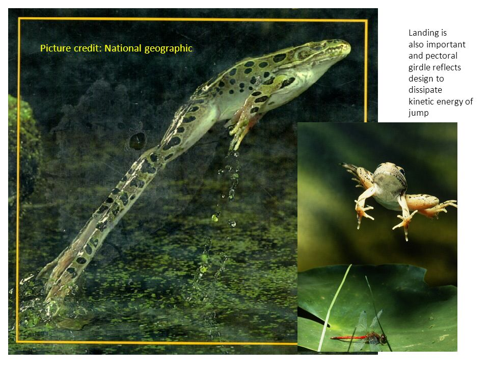 Picture credit: National geographic Landing is also important and pectoral girdle reflects design to dissipate kinetic energy of jump
