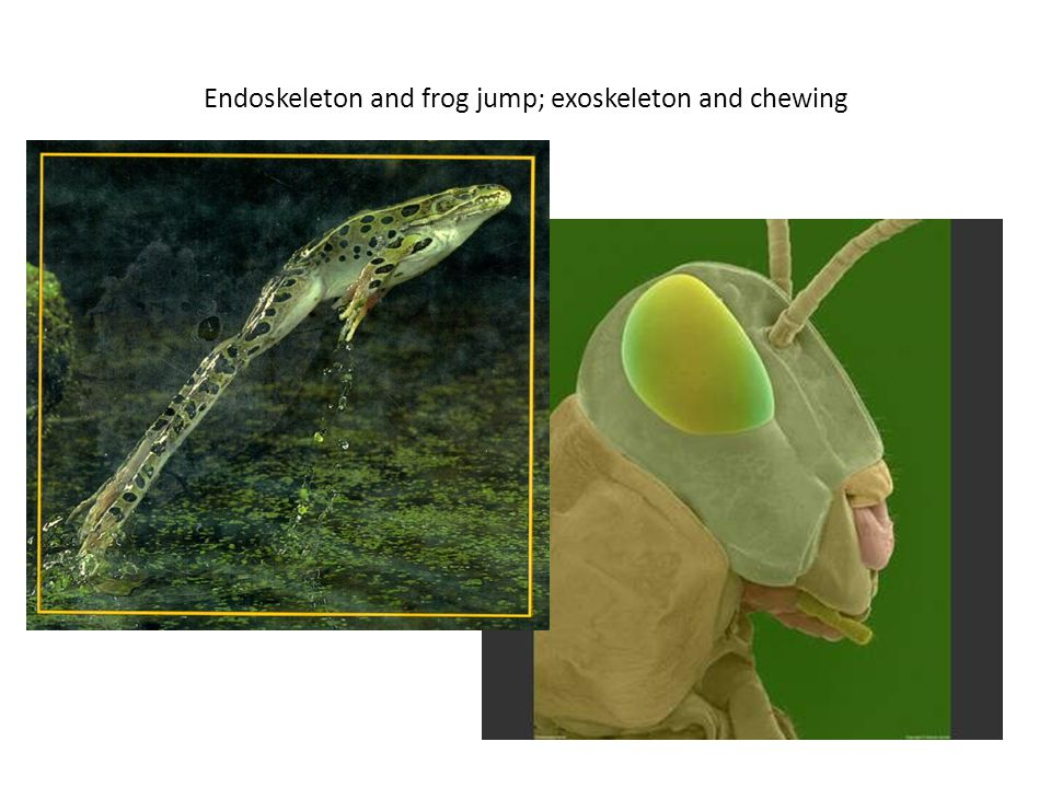 Endoskeleton and frog jump; exoskeleton and chewing
