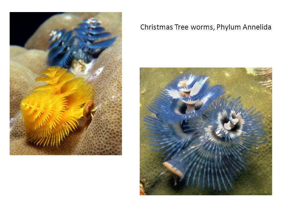 Christmas Tree worms, Phylum Annelida