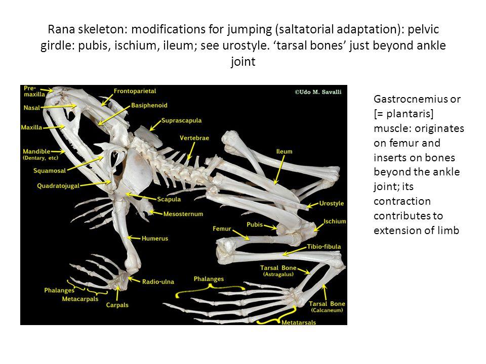 Rana skeleton: modifications for jumping (saltatorial adaptation): pelvic girdle: pubis, ischium, ileum; see urostyle. 'tarsal bones' just beyond ankl