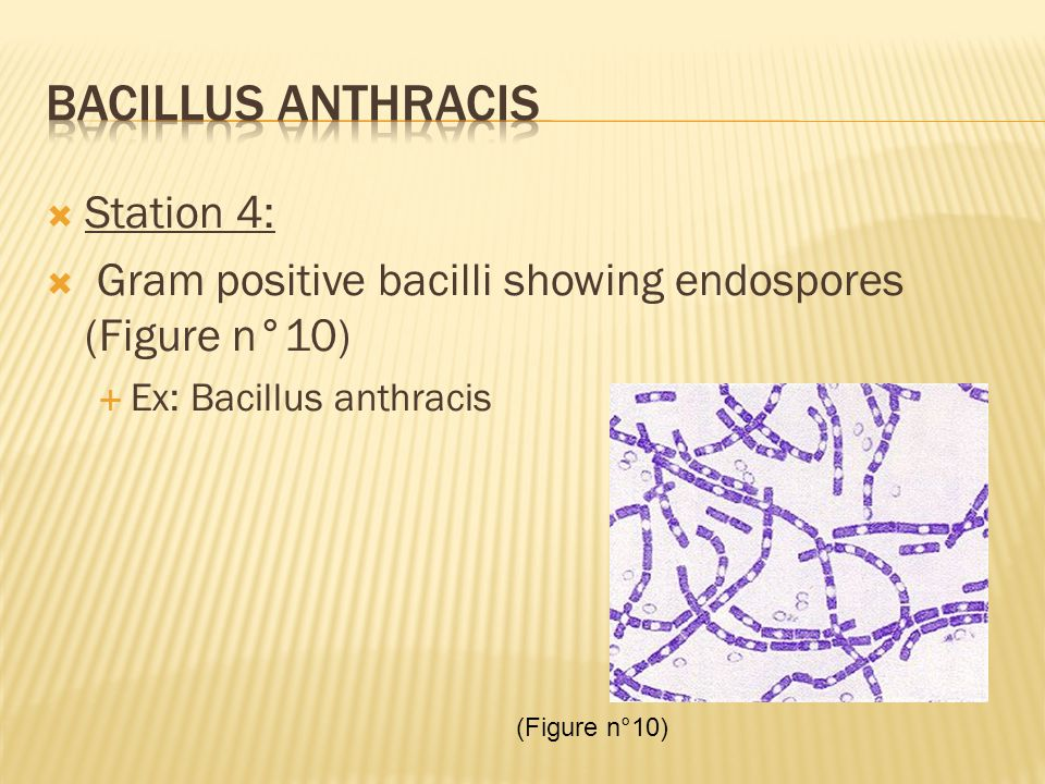  Station 4:  Gram positive bacilli showing endospores (Figure n°10)  Ex: Bacillus anthracis (Figure n°10)