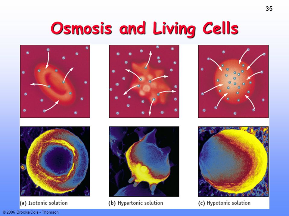 35 © 2006 Brooks/Cole - Thomson Osmosis and Living Cells