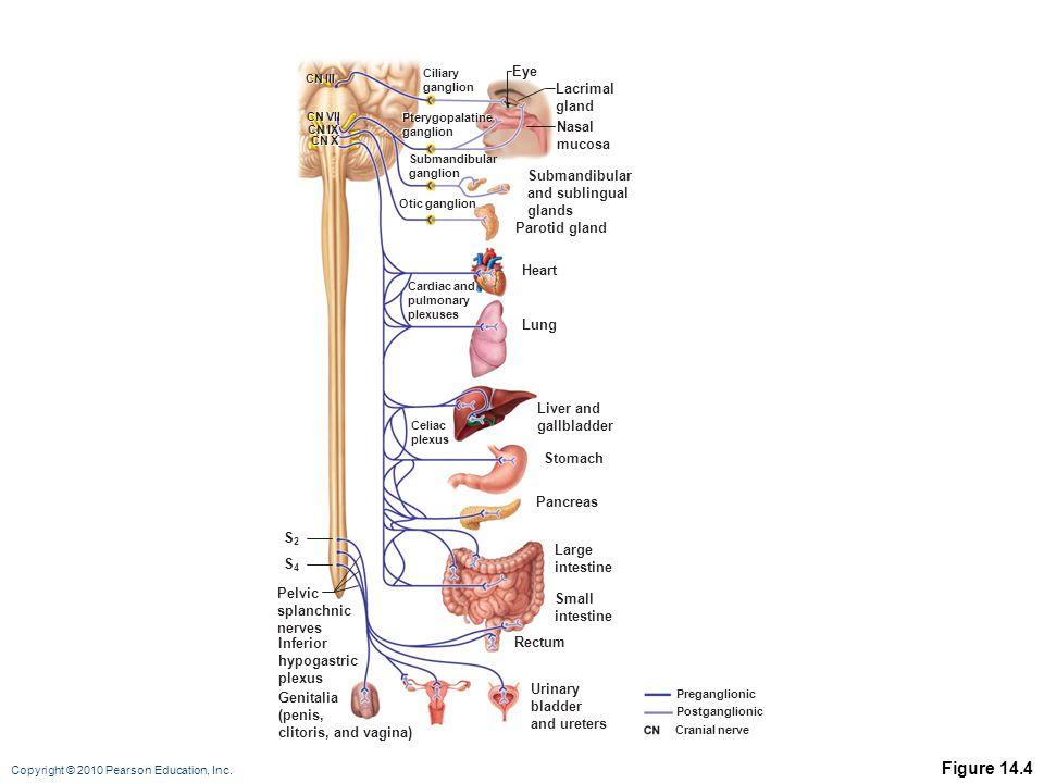 Copyright © 2010 Pearson Education, Inc. Pterygopalatine ganglion Eye Lacrimal gland Nasal mucosa Ciliary ganglion Pterygopalatine ganglion Submandibu