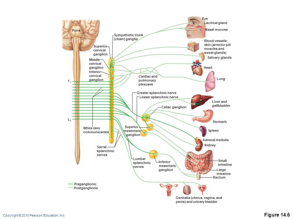 Copyright © 2010 Pearson Education, Inc. Figure 14.6 Superior cervical ganglion Middle cervical ganglion Inferior cervical ganglion Sympathetic trunk