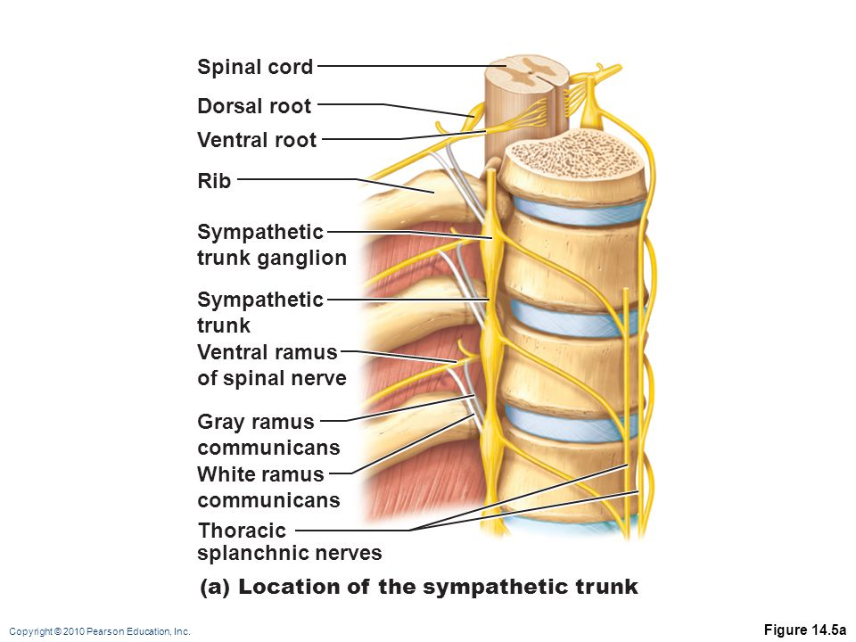 Copyright © 2010 Pearson Education, Inc. Figure 14.5a Spinal cord Dorsal root Ventral root Sympathetic trunk ganglion Sympathetic trunk Rib Ventral ra