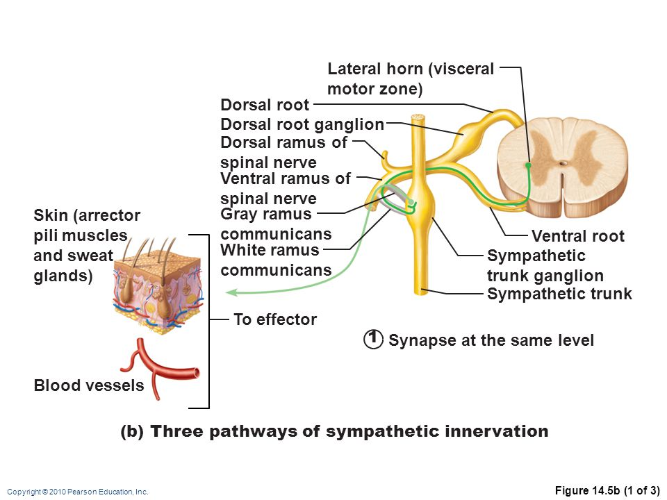 Copyright © 2010 Pearson Education, Inc. Figure 14.5b (1 of 3) To effector Blood vessels Skin (arrector pili muscles and sweat glands) Dorsal root gan
