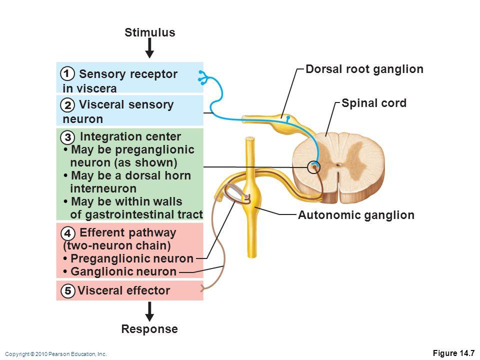 Copyright © 2010 Pearson Education, Inc. Figure 14.7 Spinal cord Dorsal root ganglion Autonomic ganglion Stimulus Response Visceral sensory neuron Int