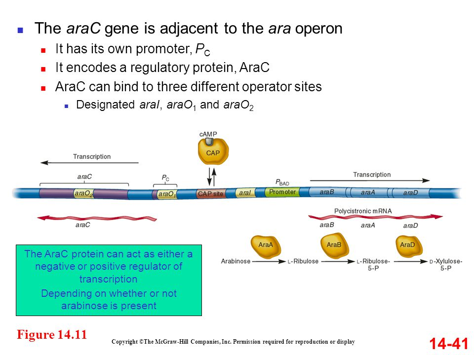 14-41 Figure 14.11 Copyright ©The McGraw-Hill Companies, Inc. Permission required for reproduction or display The araC gene is adjacent to the ara ope