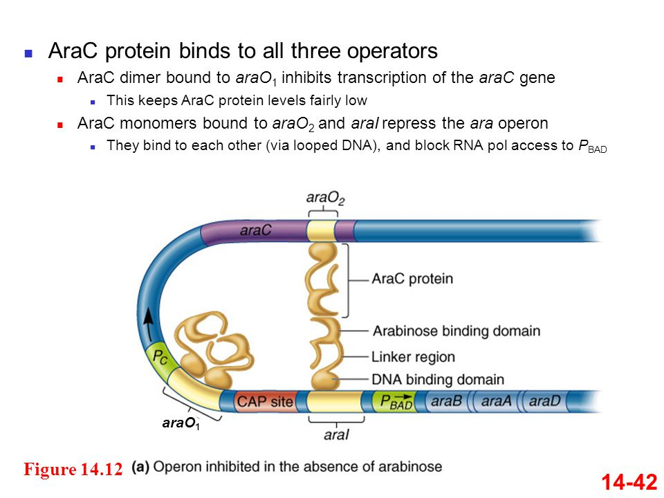 AraC protein binds to all three operators AraC dimer bound to araO 1 inhibits transcription of the araC gene This keeps AraC protein levels fairly low