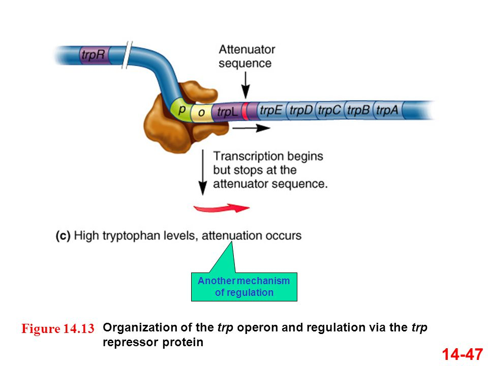 14-47 Organization of the trp operon and regulation via the trp repressor protein Figure 14.13 Another mechanism of regulation