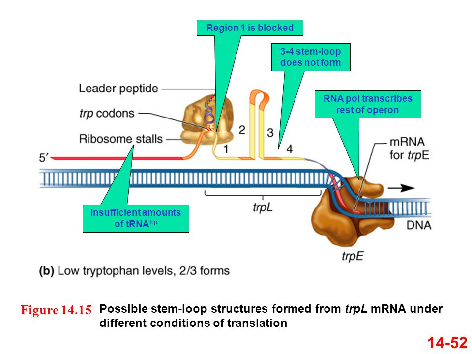 14-52 Possible stem-loop structures formed from trpL mRNA under different conditions of translation Figure 14.15 Insufficient amounts of tRNA trp Regi