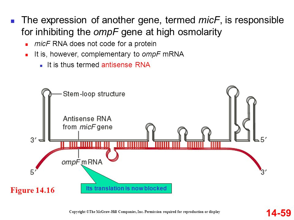 14-59 Figure 14.16 The expression of another gene, termed micF, is responsible for inhibiting the ompF gene at high osmolarity micF RNA does not code