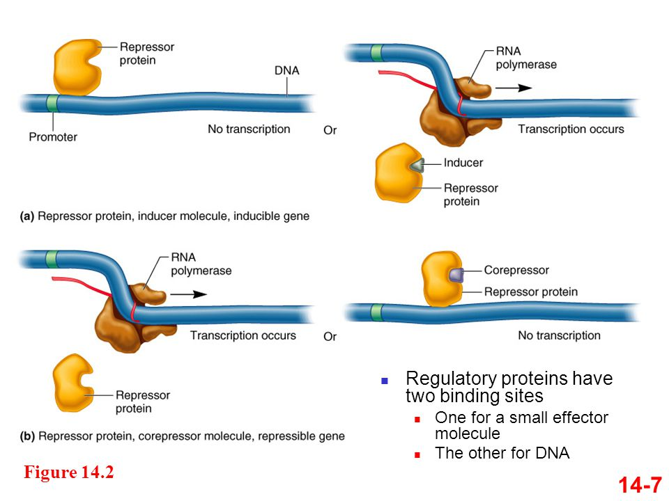 Figure 14.2 14-7 Regulatory proteins have two binding sites One for a small effector molecule The other for DNA