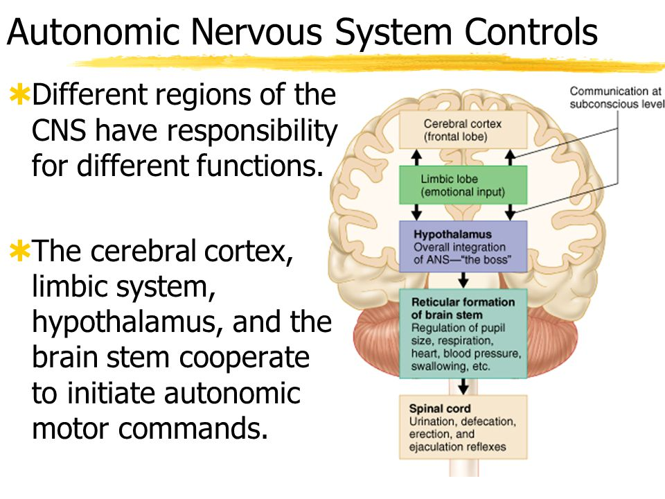 Autonomic Nervous System Controls  Most control is unconscious and originates from the hypothalamus  But strong conscious emotional states can trigger autonomic, usually sympathetic, responses