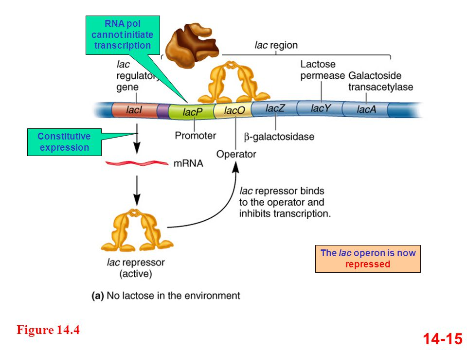 14-15 Figure 14.4 Constitutive expression RNA pol cannot initiate transcription The lac operon is now repressed