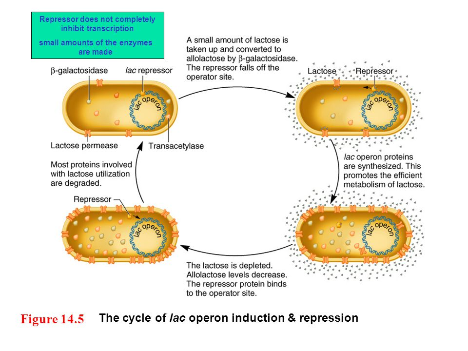 The cycle of lac operon induction & repression Figure 14.5 Repressor does not completely inhibit transcription small amounts of the enzymes are made