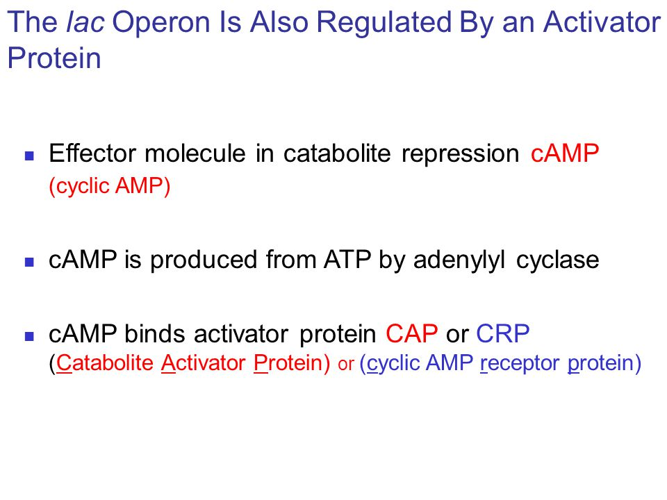 Effector molecule in catabolite repression cAMP (cyclic AMP) cAMP is produced from ATP by adenylyl cyclase cAMP binds activator protein CAP or CRP (Ca